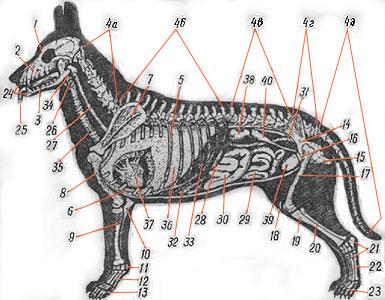 Схема организма собаки